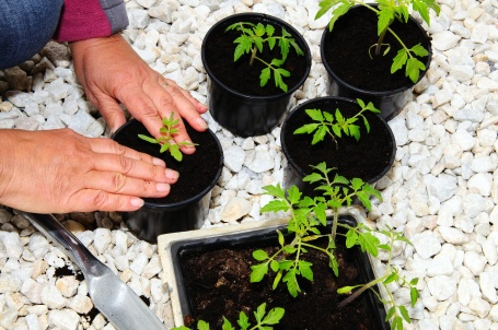 Potting up tomato seedlings © Arena Photo UK