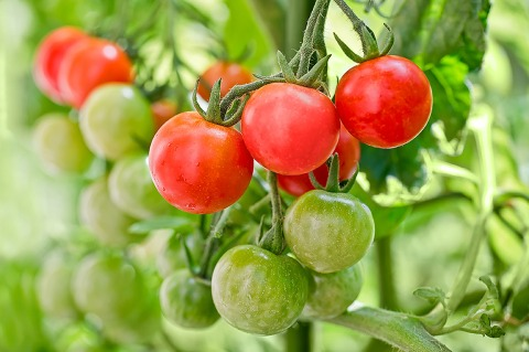 Close up of cherry tomatoes growing in a vegetable garden