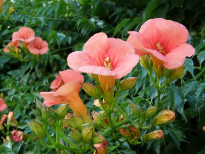 Campsis radicans (trumpet vine, or trumpet creeper, or cow itch vine, or hummingbird vine)