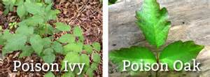 Poison ivy and oak